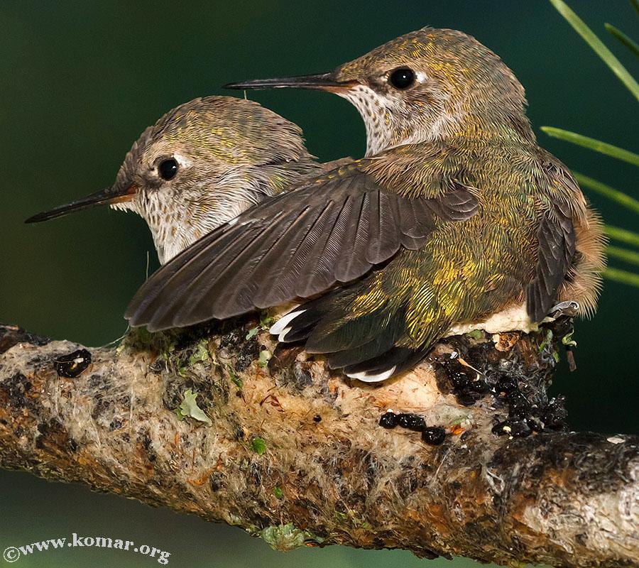 hummingbird nest 0625b