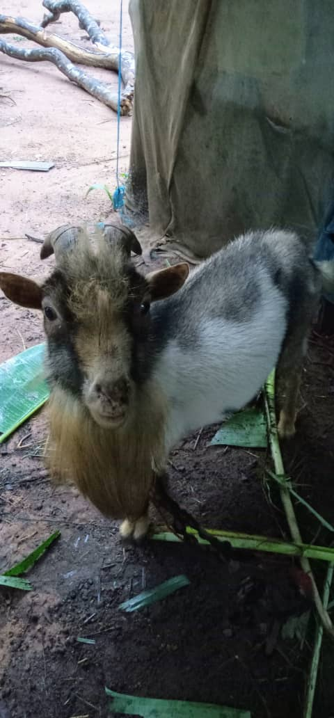 Buy Best Goats In Orumba South Anambra