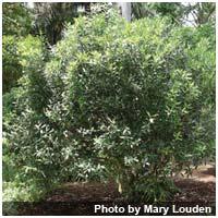 Wintersweet bush.