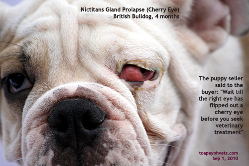 0829asingapore Veterinary Dog Er Spaniel Nicitans Cherry Eye Dogs Surgery Education Stories Published By Asiahomes Com Internet Classifieds