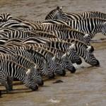 Herd of Burchell's Zebra driking, Mara River, Masai Mara, Kenya