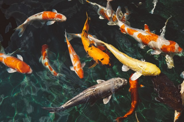 10 Most Amazing Things to Do in Autumn in Japan -  Koi Fish at Art Aquarium