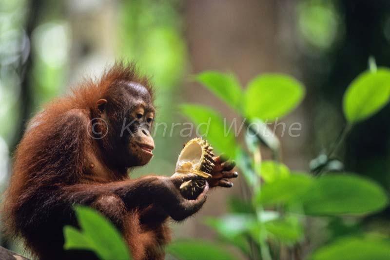 Orangutans Moments Of Nature Konrad Wothe