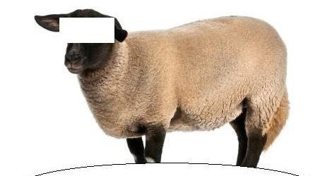 hukum urunan qurban kambing