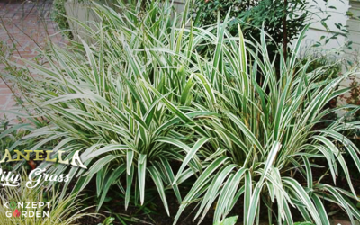 Who knows this plant 'Dianella Lily Grass'