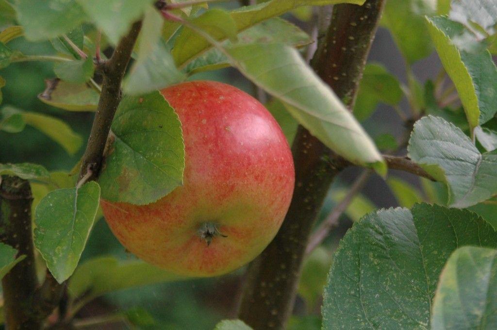 appelmoes zelf maken zonder suiker