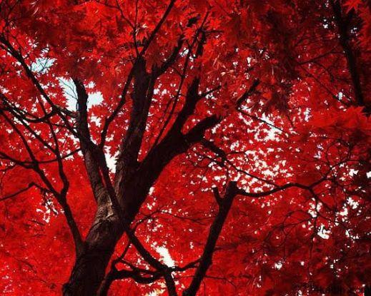 kırmızı ağaç