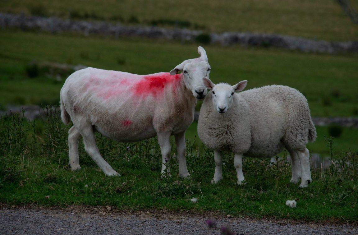çayırda boyalı koyunlar
