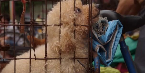 Video İçin Köpek Eti Yiyen Amerikalı ve Köpek Yemeyi Savunan Çinliler