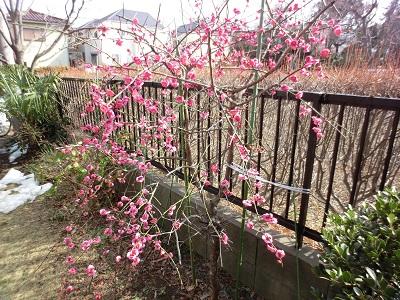 雪も溶けて満開となった庭先の枝垂れ梅