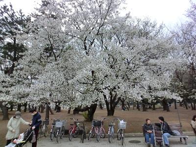 見事な山桜