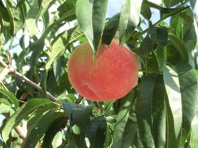生っている桃をこんな近くで見たのは初めて