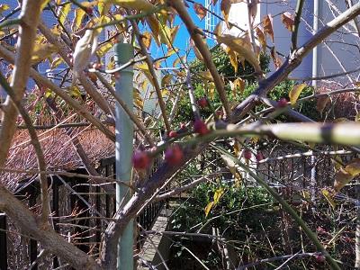 膨らんできた梅の蕾