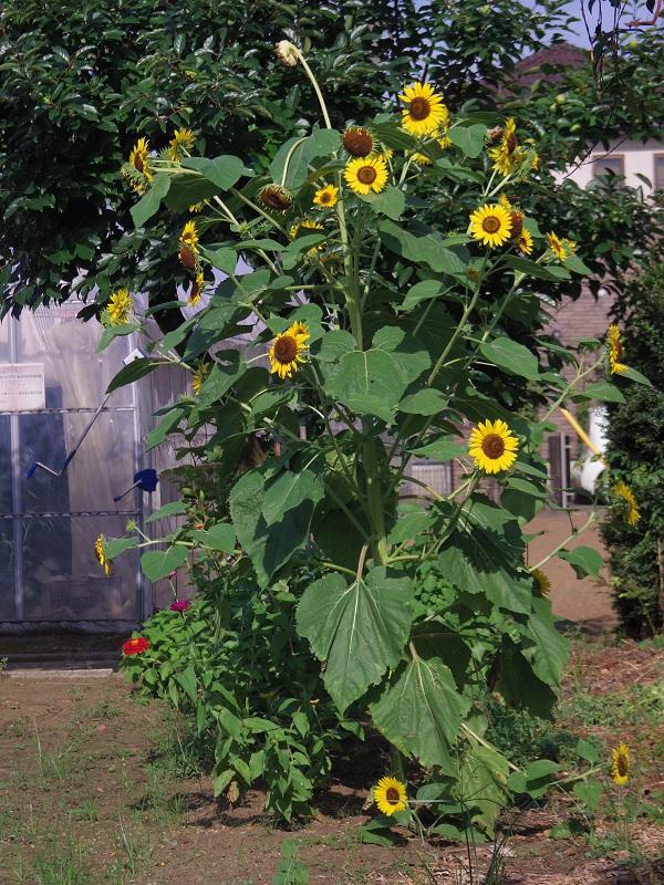 トマトハウスの横にきりっと立つスプレー咲きヒマワリの花姿