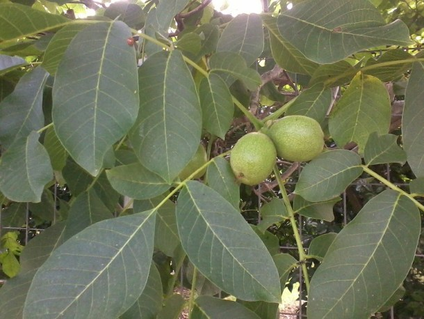 Karydaki - Green walnuts photo