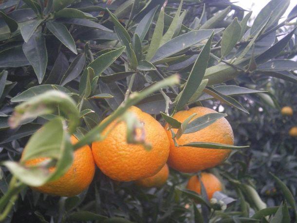 Μανταρίνια στο δέντρο