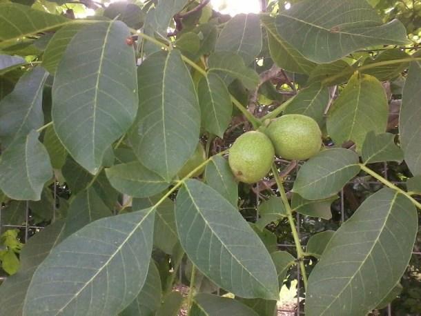 Green walnuts photo