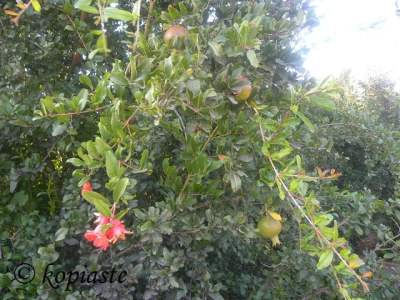 Pomegranate with flowers