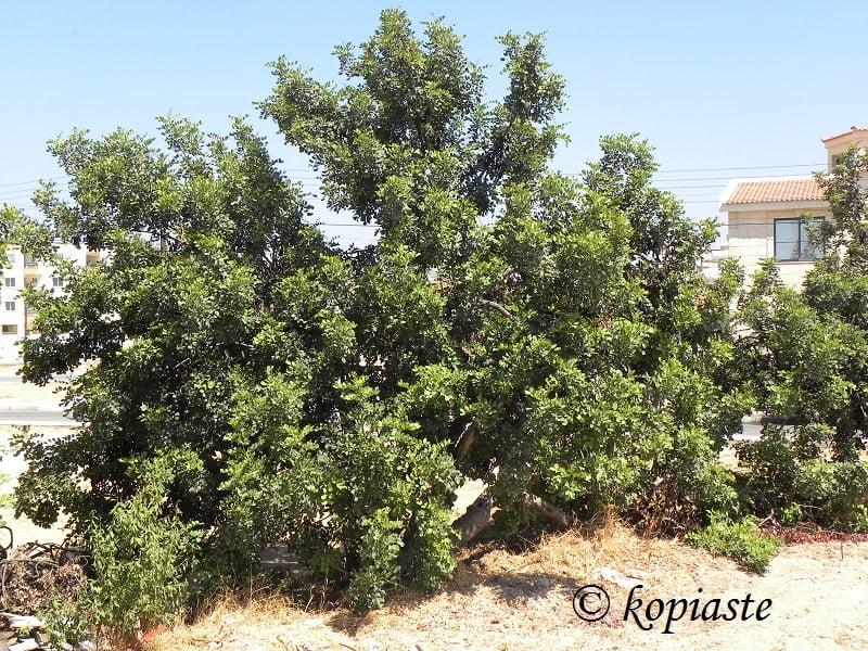 carob tree haroupia