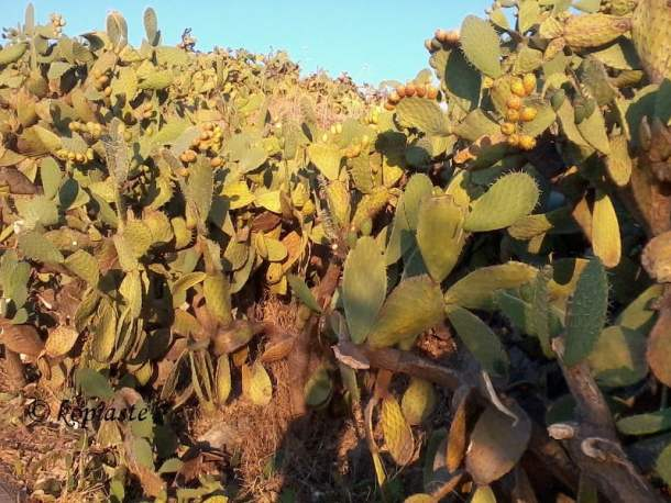 prickly-pears-forest in Arvanitia