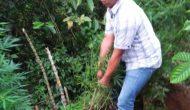 Permalink ke Tanam Puluhan Batang Ganja di Kaki Gunung Dempo, Tugek Dibekuk Polisi