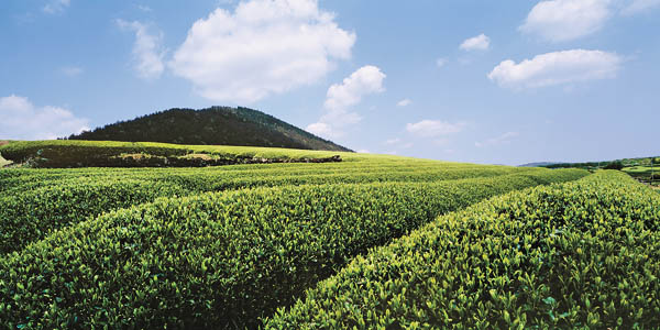 AmorePacific will add a green tea production field spanning 13,223 square meters to the plot of land it owns in Seoguipo. The field will also accommodate a premium spa resort. [AMOREPACIFIC]