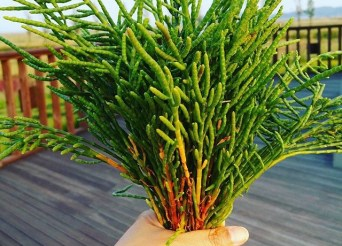 Hamcho: Korean Glasswort Plant