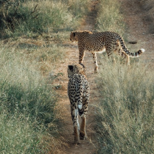 Spotted two Cheetahs walking in Karongwe Game Reserve