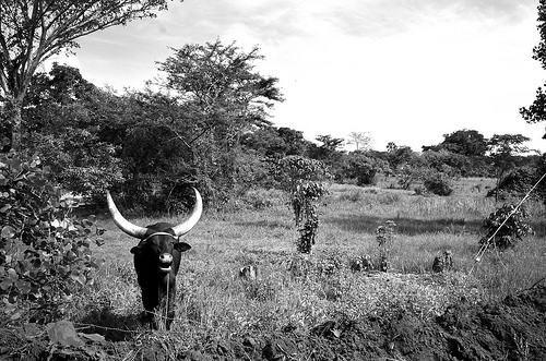 bull black and white photo