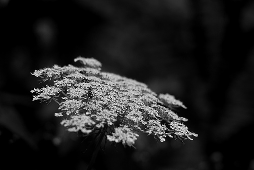 black and white flowers photo