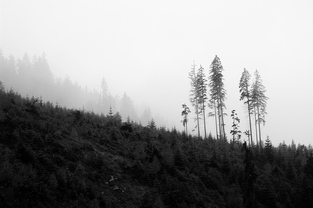 black and white forest photo