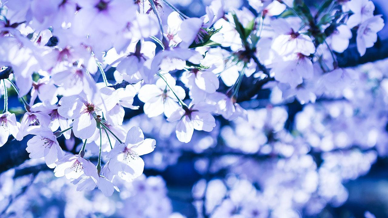 Japanese Horror Corpse Under The Cherry Blossom Kowabana