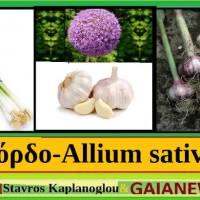 Το σκόρδο και οι ιατροφαρμακευτικές του ιδιότητες – Του Γεωπόνου Σταύρου Καπλάνογλου