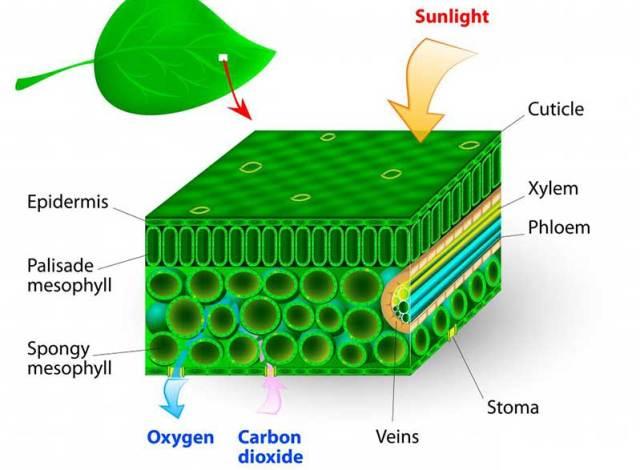 fotosentez-g