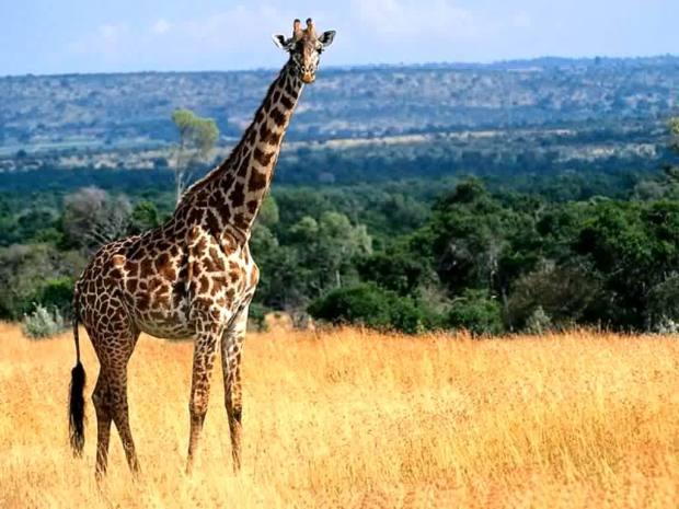 zsiraf_giraffe13