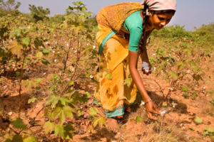 Over the Years, Bt Cotton Has Exacerbated...