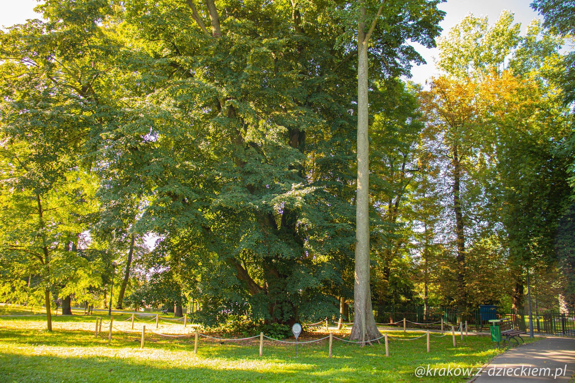 drzewo sędziwe
