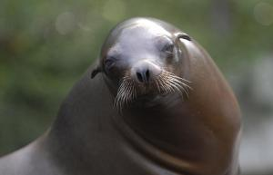 California-Sea-Lion 11