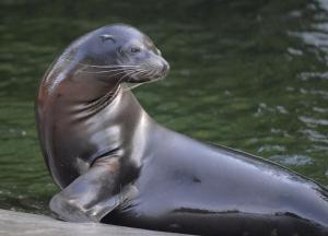 California-Sea-Lion 12