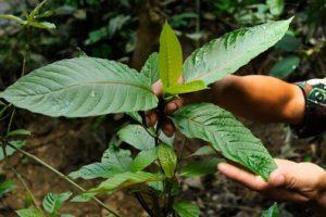 kratom jonge plant