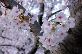 Japan (2017) - Zeit der Kirschblüte