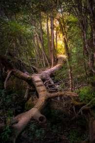 Australia - Tasmania - Cradle Mountain Lake St Clair NP - Tree Bridge