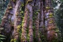 Australia - Tasmania - Impressive Tree