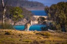 Australia - Tasmania - Maria Island - Kangaroo