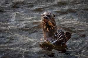 Brazil - Animal - Otter