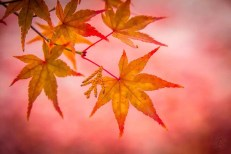 Japan - Kyoto - Kyoto - Herbstfarben