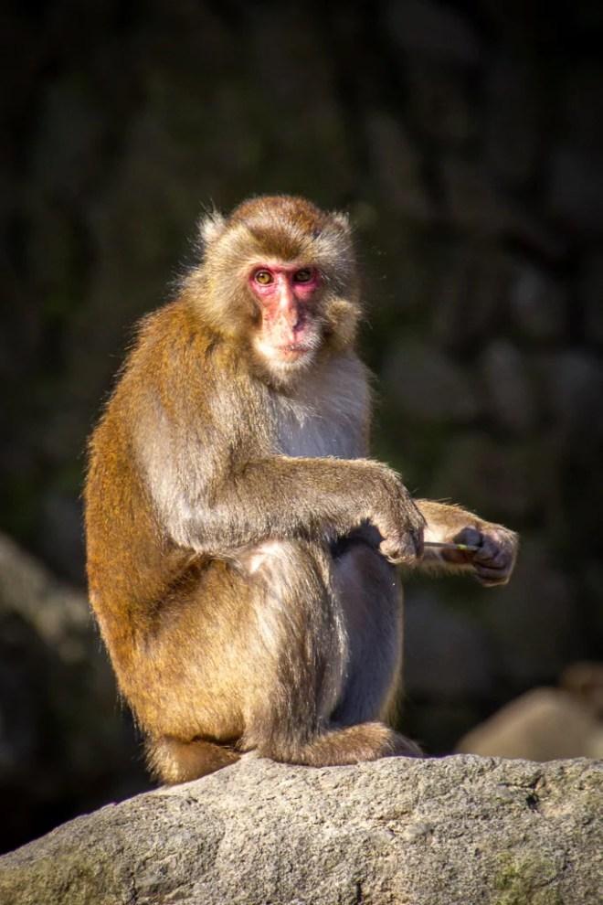 Japan (2019) - 042 Oita Takasakiyama Natural Zoological Garden - Affenpark
