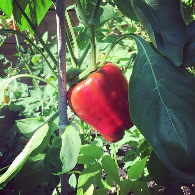 First bell pepper #fbcgarden #flatbushcottage