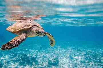 Hawksbill sea turtle swimming in Indian ocean in Seychelles