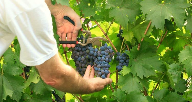 Grapes_picking